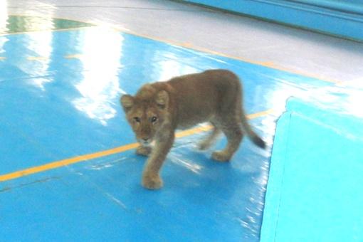 Львенка заперли в школьном спортзале, а физкультуру отменили Фото: Из архива школьников