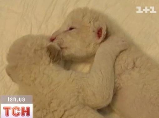 В Ялтинском зоопарке родились три крошечных белых львенка. КрымФАН.