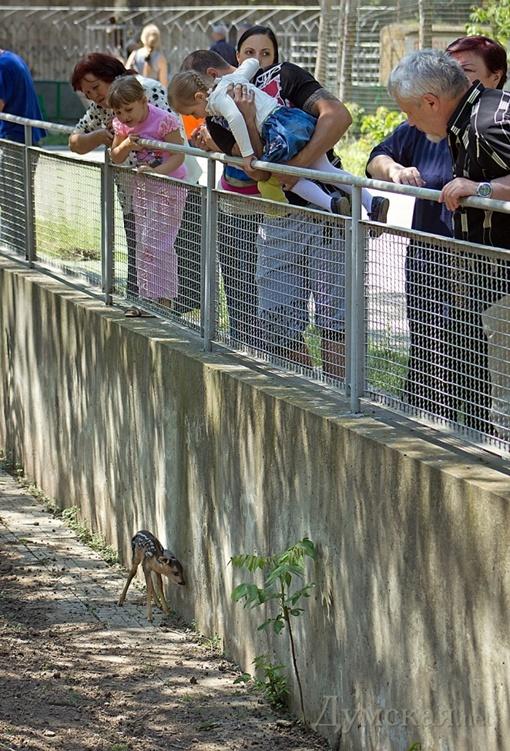А косулят уже показывают посетителям. Фото