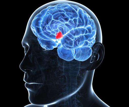 Гипоталамус находится в глубине мозга и управляет процессами старения. Фото: Science Photo