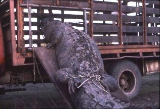Кассиуса грузят на грузовик после захвата в 1984 году. Фото с сайта www.ntnews.com.au