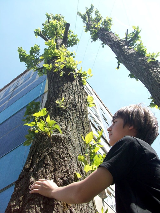 Каждый год тополя во Львове подрезают - специалисты говорят, что потом такое дерево не цветет несколько лет. Фото: Архив