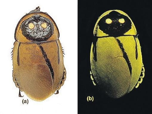 Биолюминесцентного таракана отыскали зоологи в Эквадоре. Фото: nationalgeographic.com.