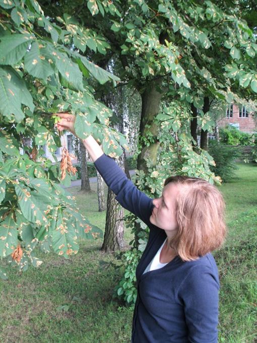 На дворе еще даже не середина лета, а все листья каштанов  засохшие и в пятнах. Фото: автор.