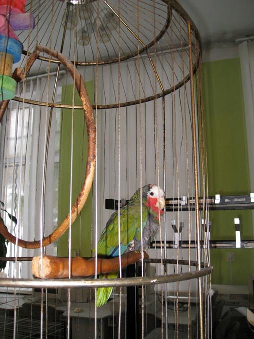 Испанский попугай-полиглот упорно изучает новый для него язык. Фото: автор.