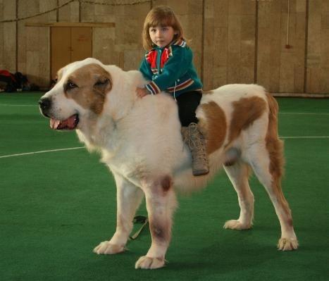 СРЕДНЕАЗИАТСКАЯ ОВЧАРКА (Central Asian Shepherd), порода служебных собак.  Другое название - алабай.