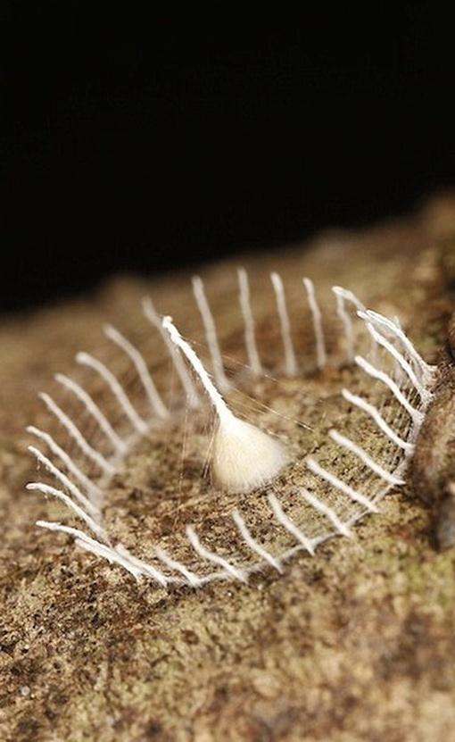 Некоторые эксперты подозревают, что автор конструкции все-таки бабочка. А сама конструкция не достроена, достроенная должна, вроде бы, образовать кокон. Фото: Tambopata Research Center