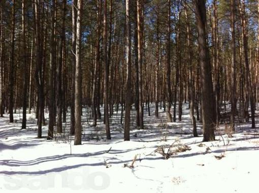 Лес возле села Гнедин, где нашли тело Вербицкого. Фото с сайта http://kiev.ko.slando.ua/