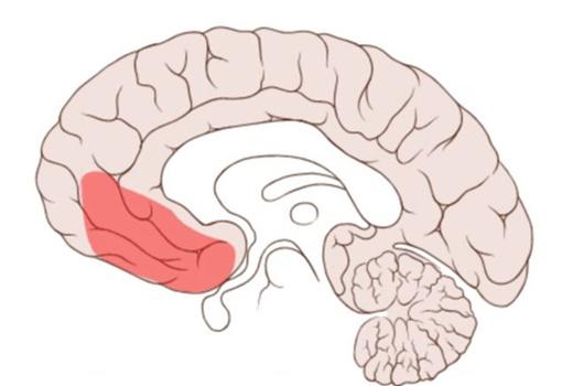Участок мозга, защищающий от граблей, по странному совпадению находиится за лбом. Фото: Oxford University