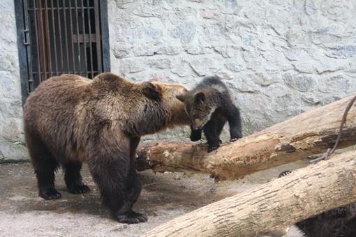 Медведица Соня с пятимесячным медвежонком из прошлого приплода. Фото с сайта харьковского зоопарка.