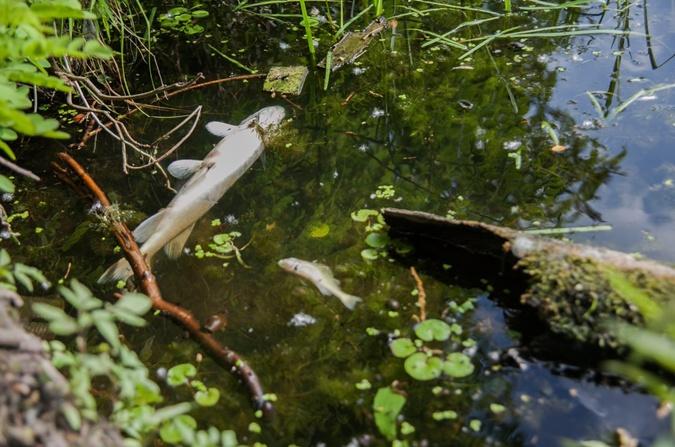 На большом участке Коника у берега плавает масса дохлой рыбы.