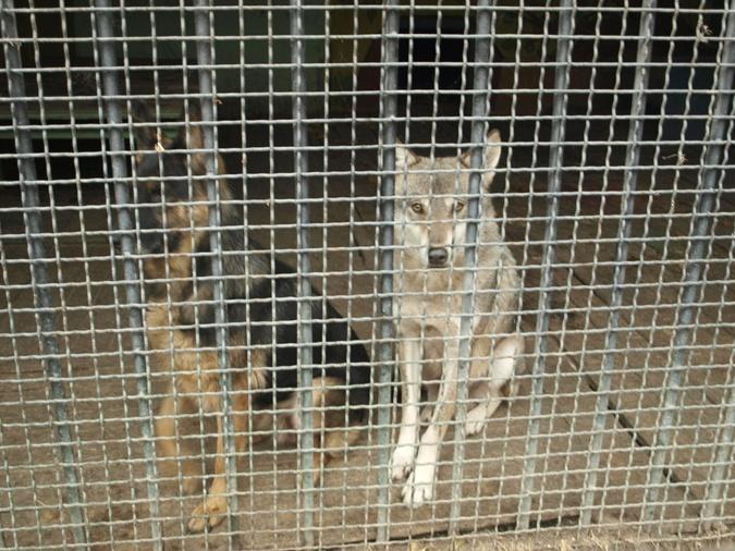 Завидев редких в последнее время посетителей, звери доверчиво липнут к решеткам и барьерам.