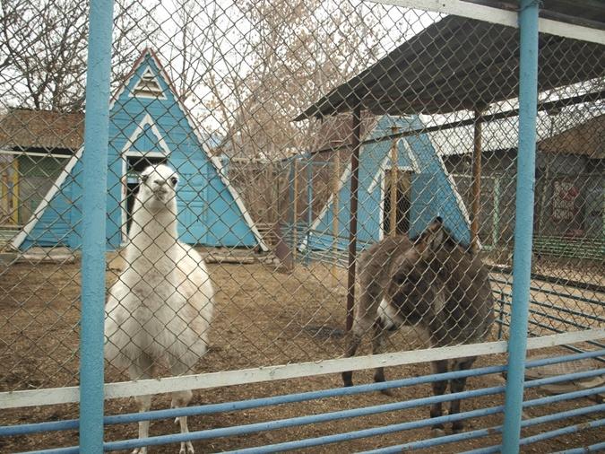 В Луганском зоопарке обитают лев, двое мишек, лама, волк, еноты, лиса, барашки, обезьяны, ослик.