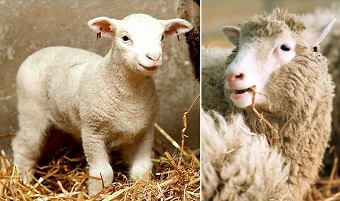 Первой клонированная овечка по