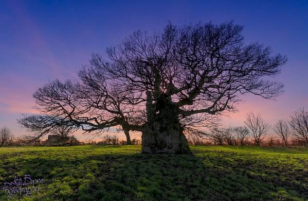 Дуб Боуторп возрастом 1200 лет. Фото: Eco Heathen