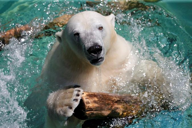 Полярная медведица Анори охлаждается в жаркий день в зоопарке Вупперталь в Германии. Фото: Reuters
