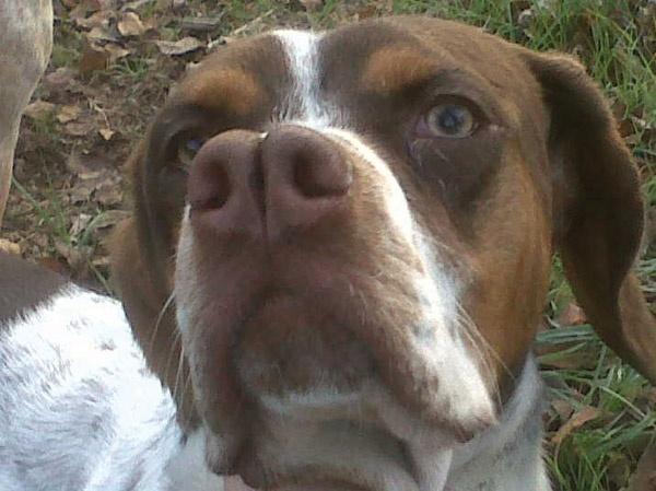 Порода собаки пердигеро наварро. Фото: pinterest.com