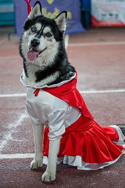 Хаски ассоциируют с волками, на самом деле эти собаки добродушны и милы.