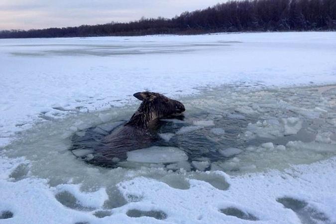 Барнаулец спас лося от неминуемой гибели.