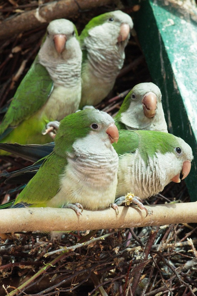 Лозу попугаям приносят каждый дом - утепление нынче вещь необходимая.