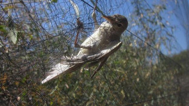 НаКипре каждый год убивают сотни тыс. певчих птиц