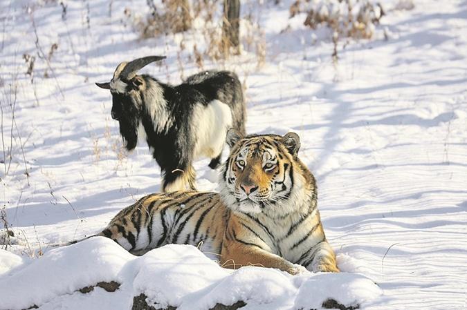 Дети тигра Амура икозла Тимура нестали дружить