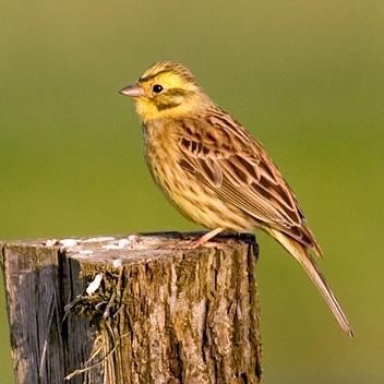 Секреты городских птиц: кто и как поет у нас под окнами фото 5