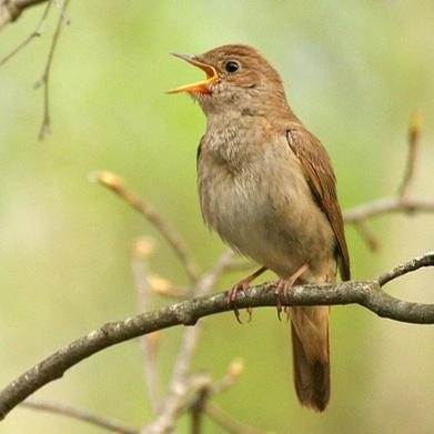 Секреты городских птиц: кто и как поет у нас под окнами фото 2
