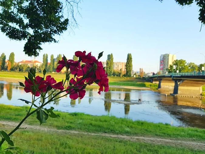 В Ужгороде цветут розы. Фото: facebook.com/nedilya.net