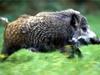 По популярности охота на кабана вполне сравнима с охотой на лося.  Этот вид хорошо адаптирован в культурном ландшафте...