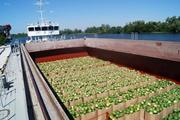 Насколько собьет цены в Киеве баржа с арбузами