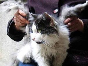 Китайский кот, снупи: о породе, фото, цена, видео