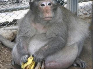 В Таиланде ветеринары посадили на диету перекормленную туристами макаку