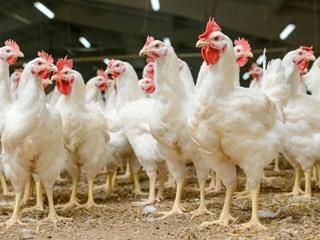 Катар снял запрет на ввоз украинской птицы