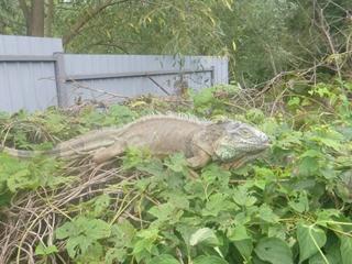 Мои кабачки съел динозавр : Под Киевом женщину спасли от экзотического животного