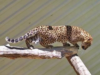 Харьковскому черному леопарду привезли пятнистую невесту