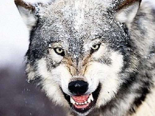Зверский взгляд: волки и