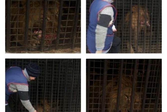 льва в воюющем Луганске
