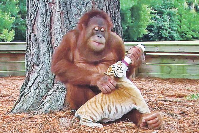 Женщина и орангутан секс фото 31-396