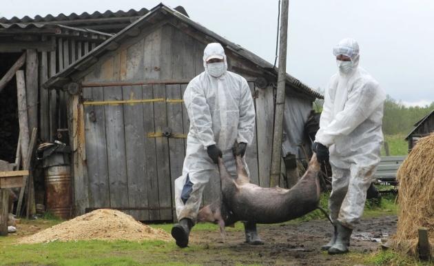 Из-за вспышки африканской чумы свиней вКрыму введен режимЧС