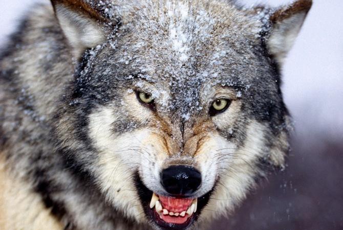 Ровенщину  оккупировали  волки