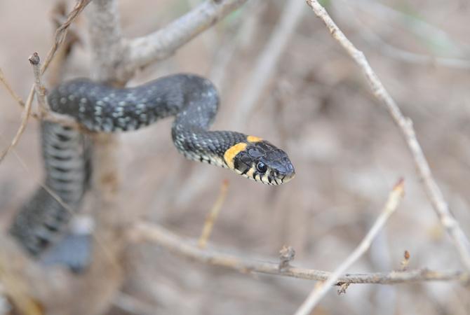 Ученые узнали, почему змеи такие длиннющие