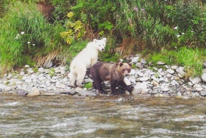 НаКамчатке найден белый бурый медвежонок