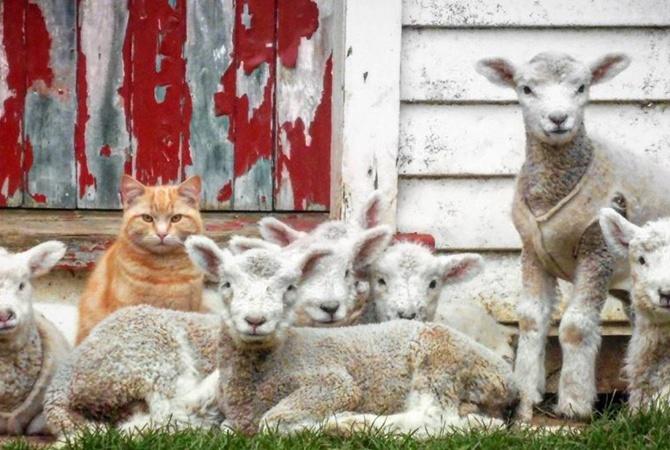 В Новой Зеландии кот возглавил отару овец