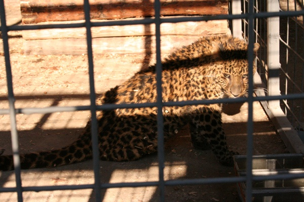 Леопард убежал измариупольского зоопарка