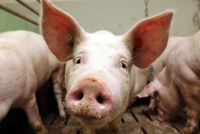 Чума свиней: вВеселовском районе Дона введен режимЧС