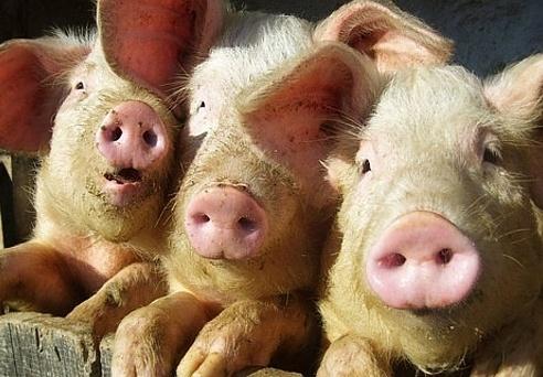 Под Киевом зафиксирована вспышка африканской чумы свиней