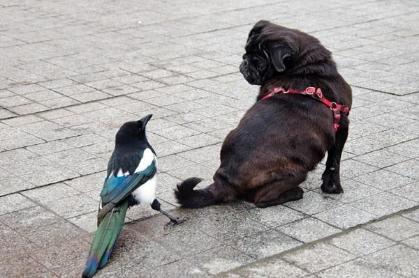 Одесская сорока подружилась с собакой и пытается лаять