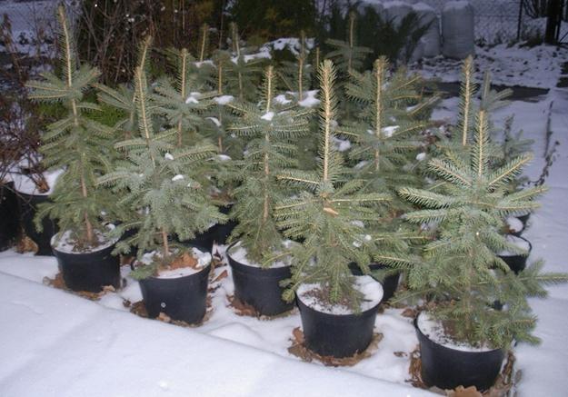 НаЗакарпатье начали сдавать елки варенду— Новая услуга