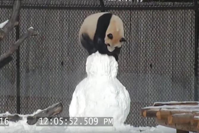 ВТоронто панда подралась соснеговиком